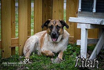 Anatolian Shepherd/Catahoula Leopard Dog Mix Dog for adoption in Whitewright, Texas - Lilah