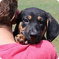 Adopt A Pet :: Pepperoni - Harmony, Glocester, RI
