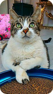 Domestic Shorthair Cat for adoption in Akron, Ohio - Augustus Gloop
