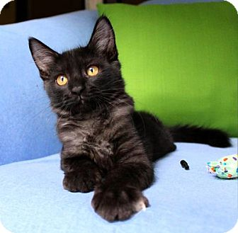 Maine Coon Kitten for adoption in jacksonville, Florida - I'M KATIE! I'M A FLUFFY SNUGGLY BLACK SMOKE BEAUTY