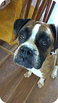 Boxer Dog for adoption in Boise, Idaho - Bear