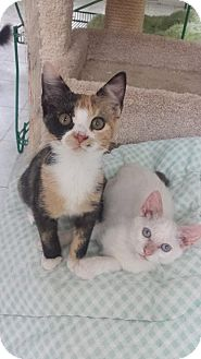 Domestic Shorthair Kitten for adoption in Myrtle Beach, South Carolina - Elsa & Ali