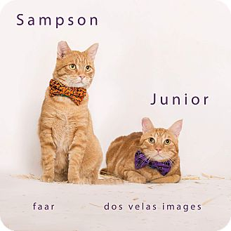 Domestic Shorthair Cat for adoption in Riverside, California - Sampson