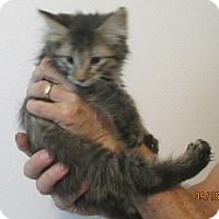 Domestic Mediumhair Kitten for adoption in New Smyrna Beach, Florida - Poofy