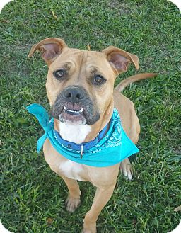 Boxer/English Bulldog Mix Dog for adoption in Lisbon, Ohio - Clark