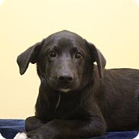 Adopt A Pet :: Archie ADOPTION PENDING - Waldorf, MD
