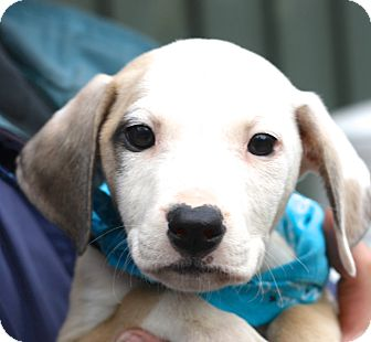 Blue Heeler/Beagle Mix Puppy for adoption in West Grove, Pennsylvania - Clay
