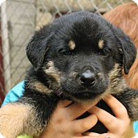 Rottweiler/Labrador Retriever Mix Puppy for adoption in Fort Madison, Iowa - Yoko (Purple Collar)