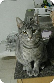 Domestic Shorthair Cat for adoption in Baltimore, Maryland - Juno (COURTESY POST)