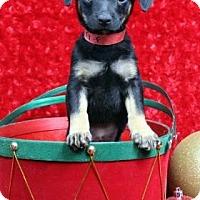 Adopt A Pet :: BIPPITY - Westminster, CO