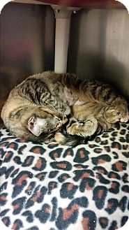 Domestic Shorthair Cat for adoption in Chippewa Falls, Wisconsin - Apple