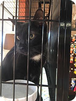 Domestic Shorthair Cat for adoption in Media, Pennsylvania - darby