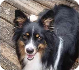 Australian Shepherd/Sheltie, Shetland Sheepdog Mix Dog for adoption in Orlando, Florida - Holly