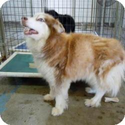 Katie Adopted Dog Tipton Ia Husky Australian Shepherd Mix