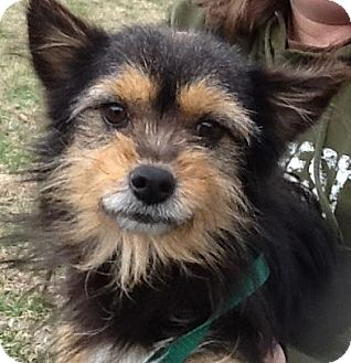 Yorkie, Yorkshire Terrier Mix Dog for adoption in Brattleboro, Vermont - Radar (reduced $350)