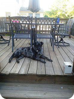 Catahoula Leopard Dog/Labrador Retriever Mix Dog for adoption in Richmond, Virginia - Sonic
