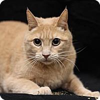 Adopt A Pet :: Creamsicle - Sacramento, CA