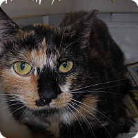 Domestic Shorthair Cat for adoption in Whiting, Indiana - Tribble