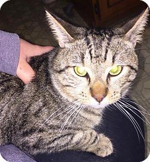 Domestic Shorthair Cat for adoption in Burlington, Ontario - Lynx