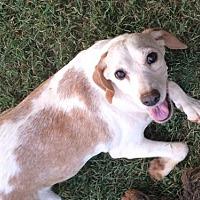 Beagle Mix Dog for adoption in Albemarle, North Carolina - Polly
