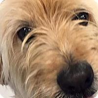Adopt A Pet :: Tootsie in TX - North Kansas City, MO
