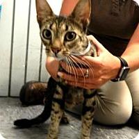 Adopt A Pet :: Mimi (Snuggly Laplover) - Arlington, VA