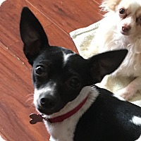 Adopt A Pet :: Mochi - San Marcos, CA