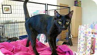 Domestic Shorthair Cat for adoption in Maryville, Tennessee - Scarlett