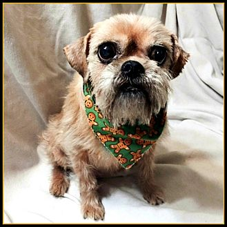 Brussels Griffon Dog for adoption in Little Rock, Arkansas - JODIE in Rogers, AR.