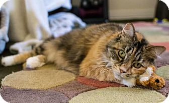 Domestic Longhair Cat for adoption in Orange County, California - Penny