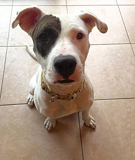 American Pit Bull Terrier/Boxer Mix Dog for adoption in Phoenix, Arizona - Penny