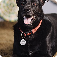 German Shepherd Dog/Labrador Retriever Mix Dog for adoption in Portland, Oregon - Oso