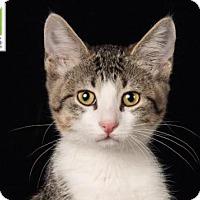 Adopt A Pet :: Mittens - Salt Lake City, UT