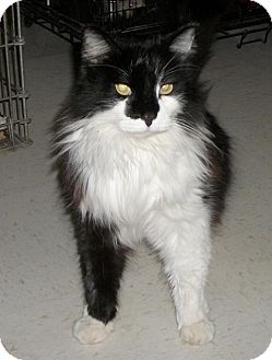 Domestic Longhair Cat for adoption in Lacon, Illinois - Smokie