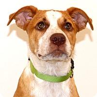 Adopt A Pet :: Jessie~meet me~ - Glastonbury, CT