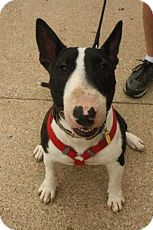 Bull Terrier Dog for adoption in Dallas, Texas - Archie