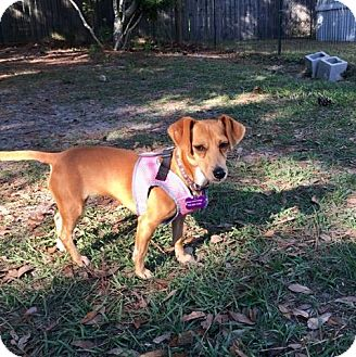Chihuahua/Dachshund Mix Dog for adoption in Freeport, Florida - Olli May