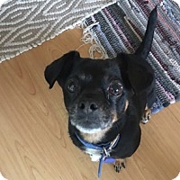Chihuahua Mix Dog for adoption in Beverly Hills, California - Frida