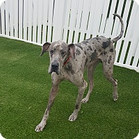 "Adopt A Pet :: Rocky "" Rock Star"" - House Springs, MO"