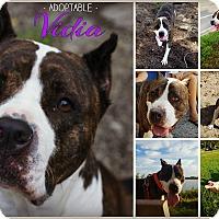 Adopt A Pet :: Vidia - Orlando, FL