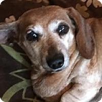 Adopt A Pet :: Lolly Ligne - Houston, TX