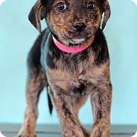 Adopt A Pet :: Brooke - Waldorf, MD