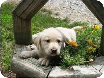 Labrador Retriever/Golden Retriever Mix Puppy for adoption in Salem, Massachusetts - The Royal Puppies