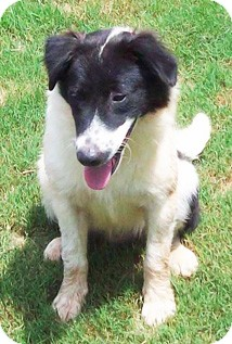 Border Collie/Flat-Coated Retriever Mix Dog for adoption in Wakefield, Rhode Island - Davis