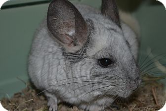 Chinchilla for adoption in Patchogue, New York - Faye