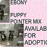 Adopt A Pet :: EBONY - Hollywood, FL