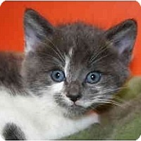 Adopt A Pet :: JOANNA - SILVER SPRING, MD