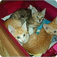 Adopt A Pet :: Orange and Gray Tabby kittens - Lake Charles, LA