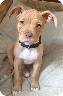 Butters | Adopted Puppy | west berlin, NJ | Boxer/American ...