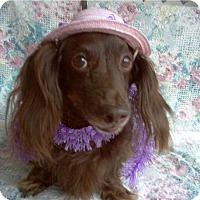 Adopt A Pet :: Truffles (Choc. Doxie) - Tucson, AZ